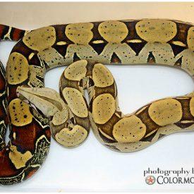 Melamogaster55